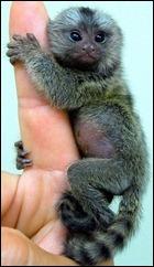 baby-pygmy-marmoset