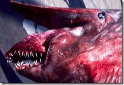 Goblin Shark, Mitsukurina owstoni I.24053-001