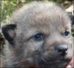Camada De Lobos Salvajes En Estocolmo El Rastreador De Noticias