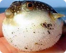 fugu-1