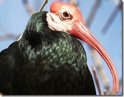 ibis calvo (Geronticus calvus)
