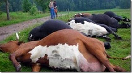vacas3