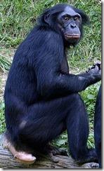 Bonobo_011