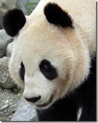 g panda2