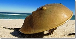 l horseshoe crab