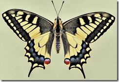 Papilio_machaon_0