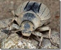 escarab