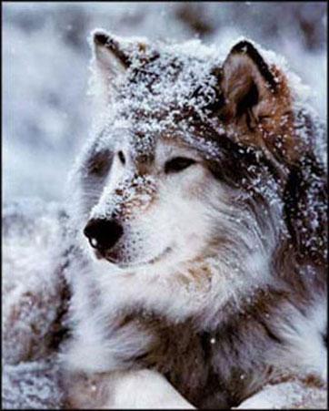 Lobos En Camino A Ser Importados A Suecia El Rastreador De Noticias