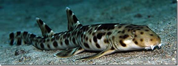 tiburon andante