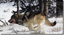 caza de lobos1