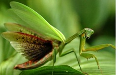 praying-mantis-virginia_28393_990x742-e1291143683859