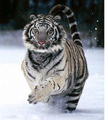 siberian tiger 2-