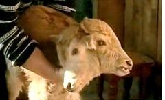 two-headed_calf