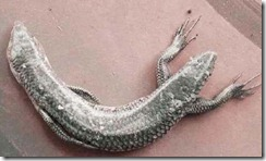 serpiente-dos-cabezas-cuatro-patas