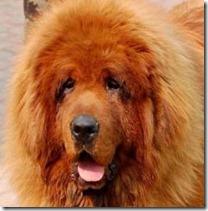 Tibetan-mastiff-Hong-Dong-