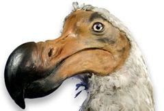 dodo-1