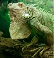 green-iguana-500px