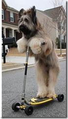norman briard dog