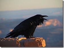 Corvus_corax_