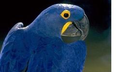 Loro-Azul