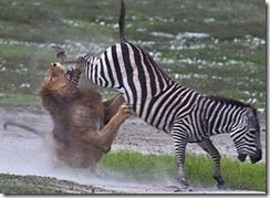 zebra-kicks-lion