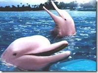 golfinho do amazonas rosa