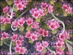 EchiumWildpretii flor del tajinaste rojo. Parque Nacional del Teide.