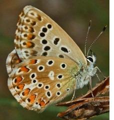 Lycaenidae_Polyommatus_bellargus_female_m