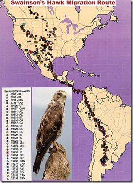Swainson's_hawk_migration_route