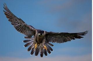 halcon peligrino