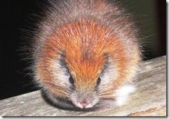 roedor avistado en la Reserva Natural El Dorado, en la Sierra Nevada de Santa Marta (Colombia)