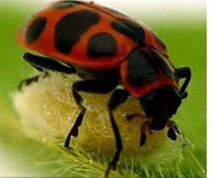 Ladybird-made-into-zombie-bodyguard-by-parasitic-wasp