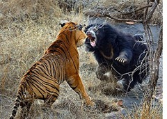 osa tigre