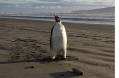 NEW ZEALAND EMPEROR PENGUIN