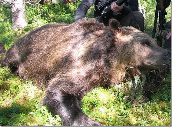 oso 361 kilos kuhmossa finlandia
