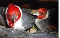 pássaros silvestres