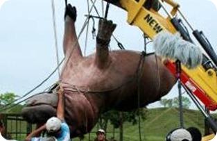 Así capturaron a un hipopótamo escurridizo