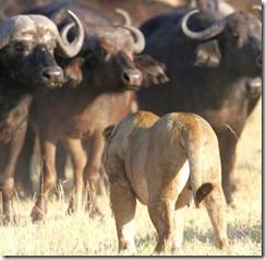 búfalos vs leonas