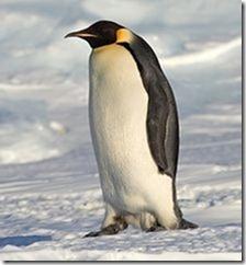 Emperor_Penguin_Manchot_empereur Foto de Samuel Blanc
