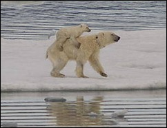 MELTING SEA ICE FORCINNG POLAR BEARS TO SWIM LONGER DISTANCES