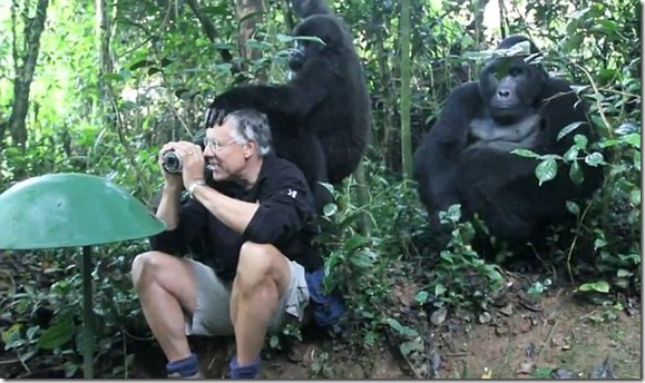 Mountain gorillas - tourist