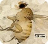 Apocephalus borealis,