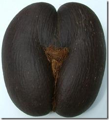 Lodoica seychellearum Seychelles. Coco de Mer Kokosnuss,