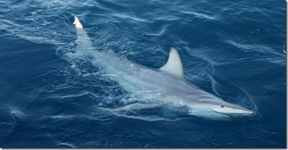 Tiburón-Híbrido-en-Australia