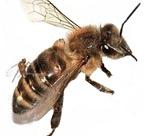 mosca-abeja-parasitaria