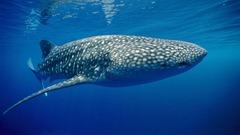 Whale Shark, Papua New Guinea