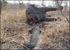 elephant-Cameroon