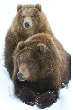 kodiakbjörnarna