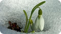 Galanthus nivalis - PRIMAVERA