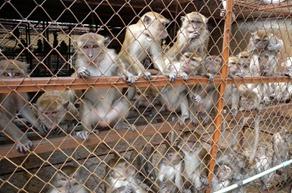 Monkeys in Laos